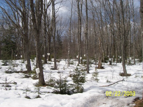 A grove of tapped maple trees